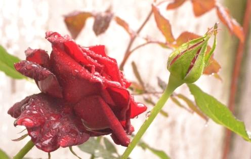 Rosas y lluvia.