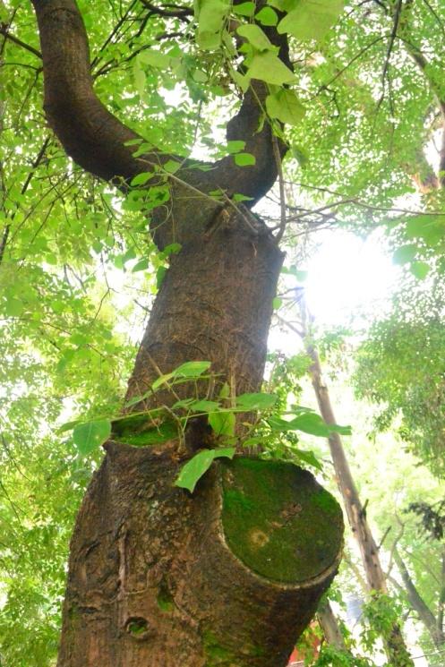 Árbol parque Pino