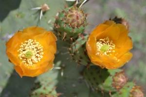 Flores de Cactus. Querétaro.