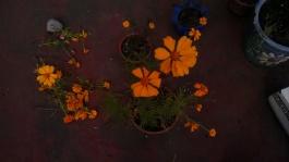 Florecen mis Cempasúchiles