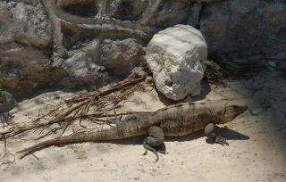 Iguana Playa Casa Maya Cancún, Quintana Roo