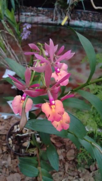 orquídeasSanAngel